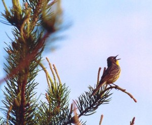 The Endangered Kirtland's Warbler in its Jack Pine habitat on the Yellow Dog Plains. Photo by Nancy Moran.