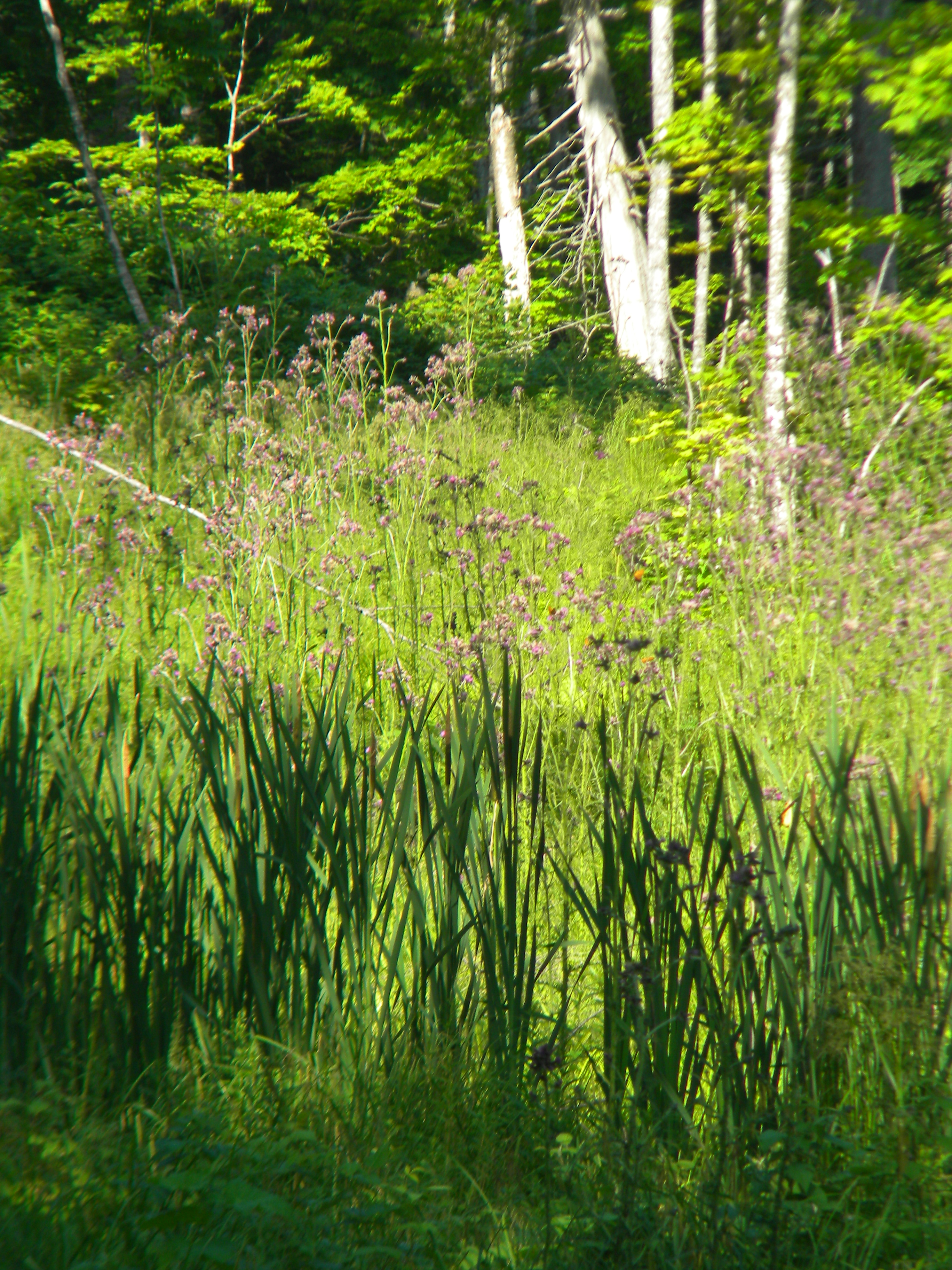 Wetland area with heavy swamp thistle infestation.
