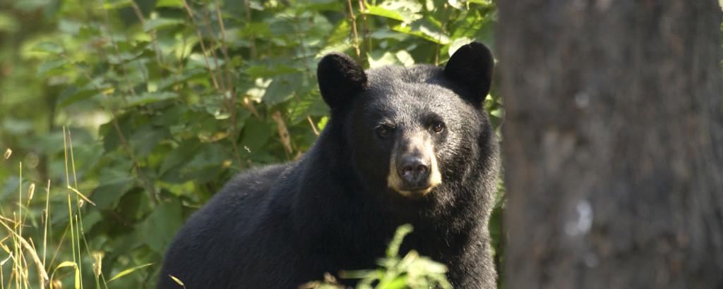 U.P. Black Bears