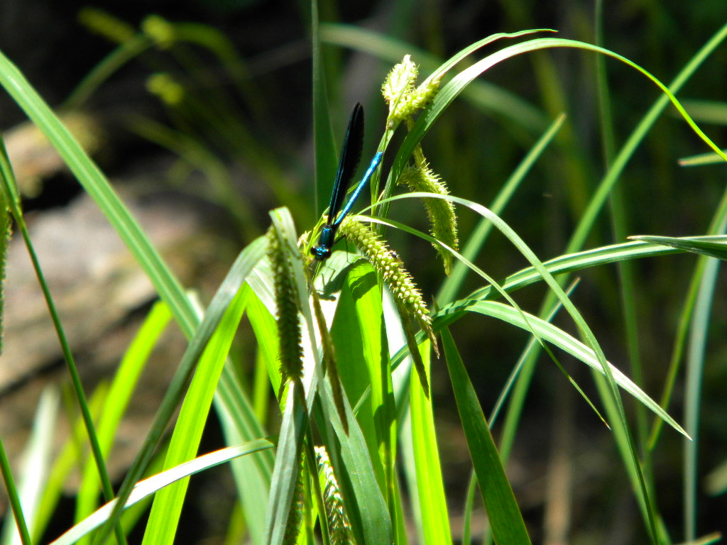Damsel  Fly Hatch on the Yellow Dog River